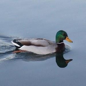 Duck Calls icon