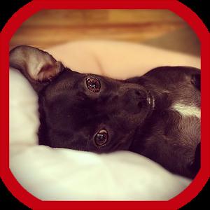 Train a Chihuahua icon