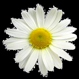 Daisy live wallpaper icon